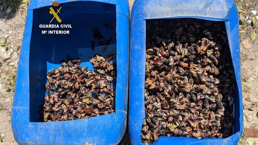 La Guardia Civil intercepta más de 17 kilos de percebe pescados en Pimiango en época de veda