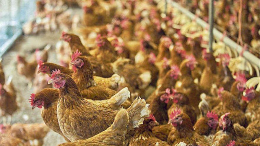 Canarias destina 50.000 euros a ayudas a la producción de gallinas ponedoras