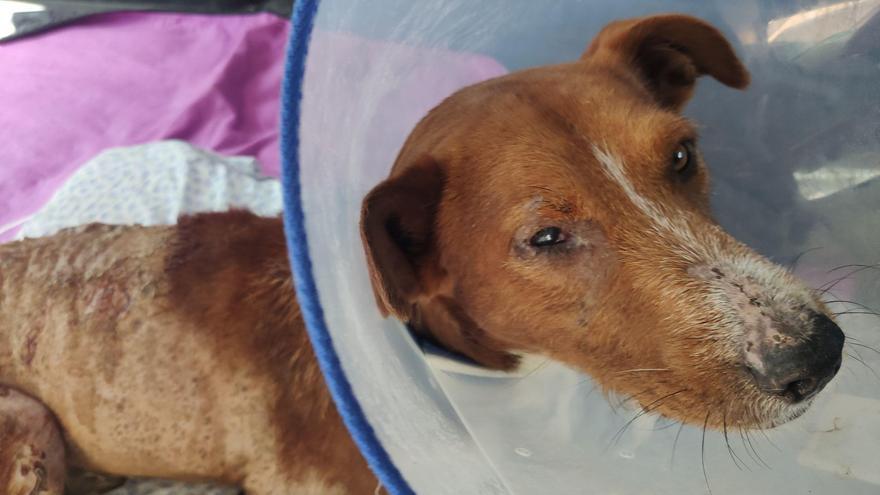 Encuentran a un perro con graves quemaduras en su piel provocadas por ácido