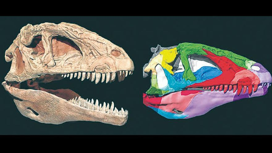Reconstruyen el cráneo de 'Pepito', el dinosaurio carnívoro de Cuenca
