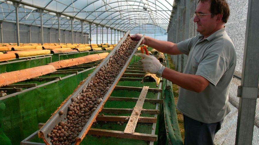 Los criadores de caracoles, en declive en Castelló