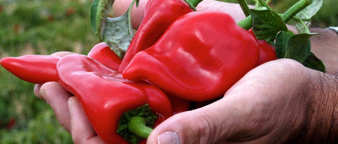 Tiempo de tomates y pimientos