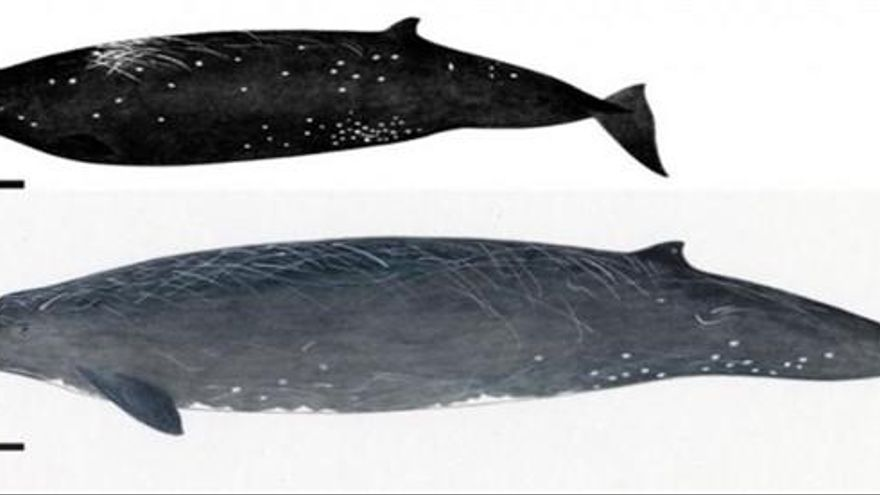 Descubren la Ballena Negra, una nueva especie de cetáceo