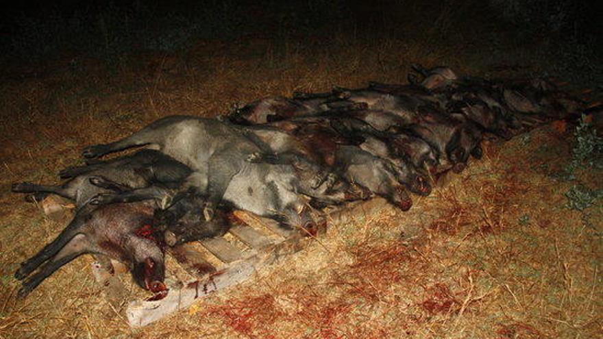 Caçats 600 senglars durant l'estat d'alarma, però n'hi ha massa a l'Alt Empordà