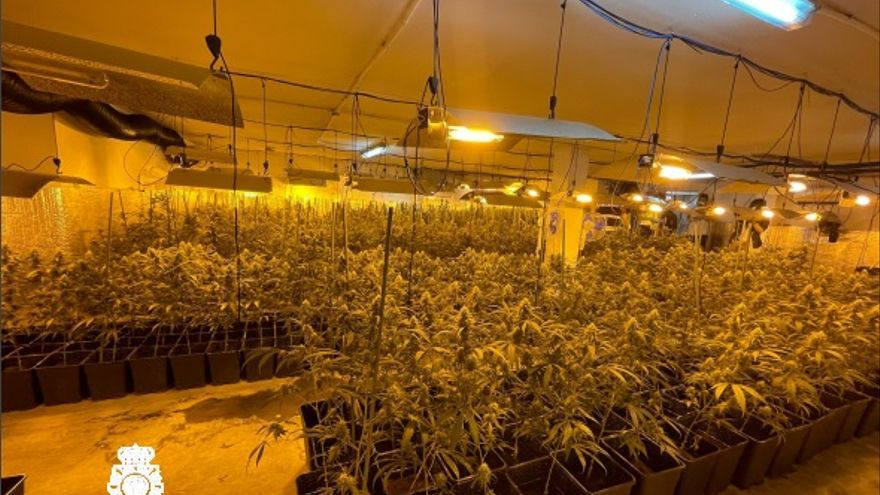 El detenido con 777 plantas de cannabis, en libertad con cargos