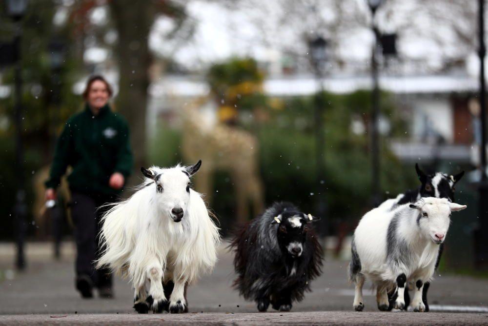 Cuidador del zoológico de Londres pasea cabras.