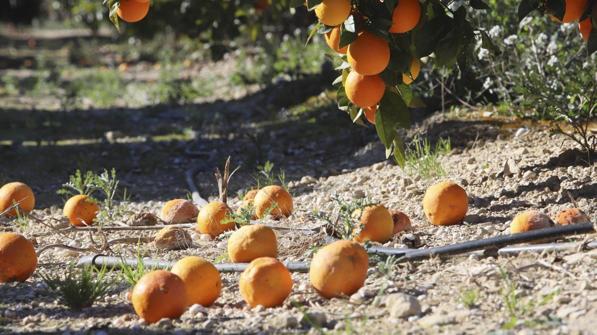 Campos de naranjas.