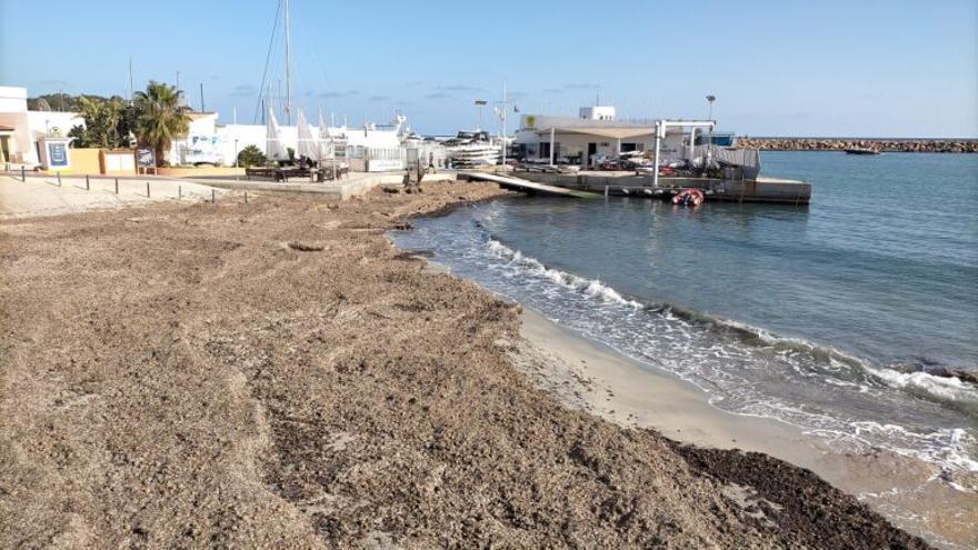 Campaña para preservar la posidonia seca de las playas alicantinas