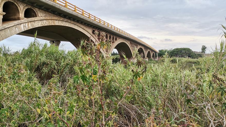Almassora urge a la CHJ desbrozar el cañar que invade el cauce del río Millars