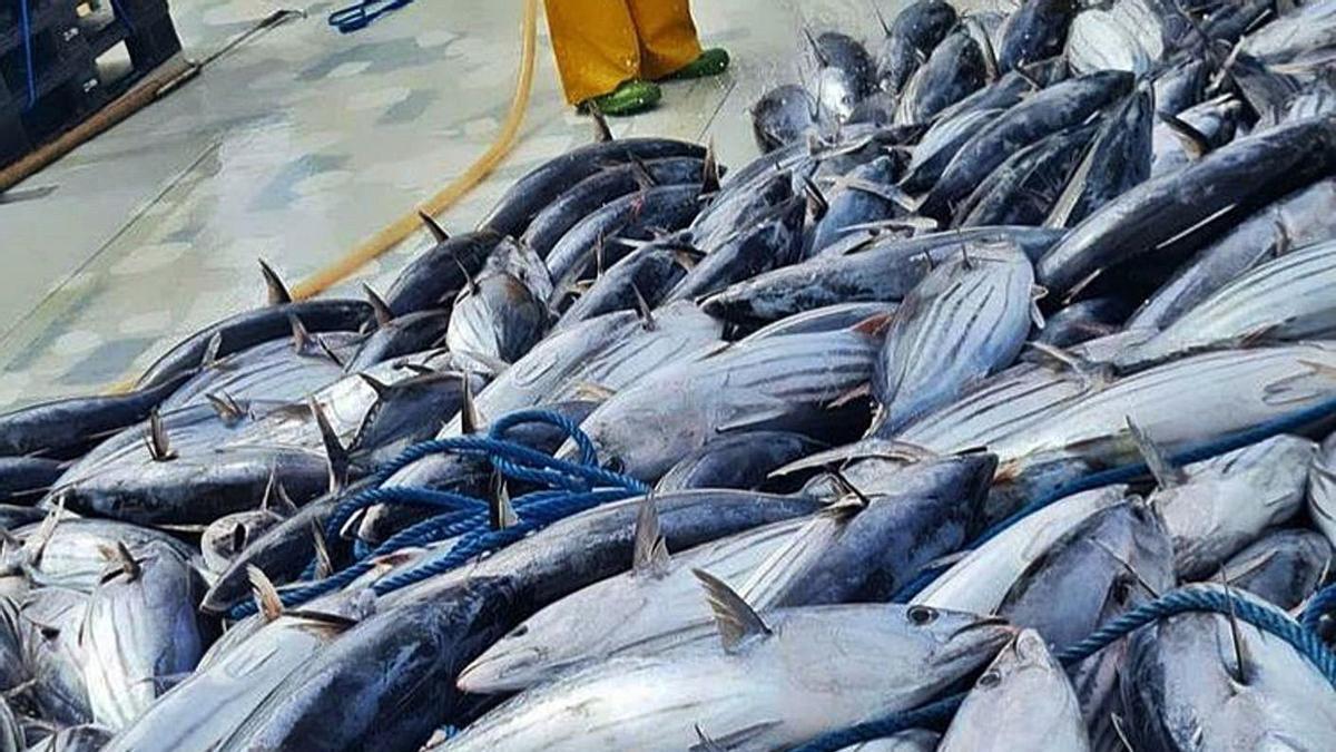 Ejemplares de atún listado capturados en la Almadraba de La Azohía. | ALMADRABA
