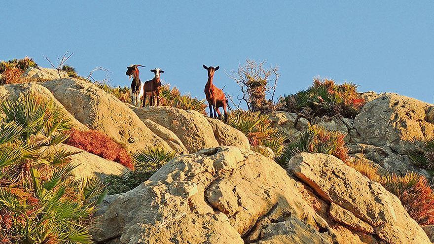 """Im Revier der """"feinen"""" Ziegen auf Mallorca wandern"""