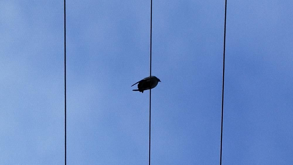 Aquest colom solitari descansa sobre els cables elèctrics.