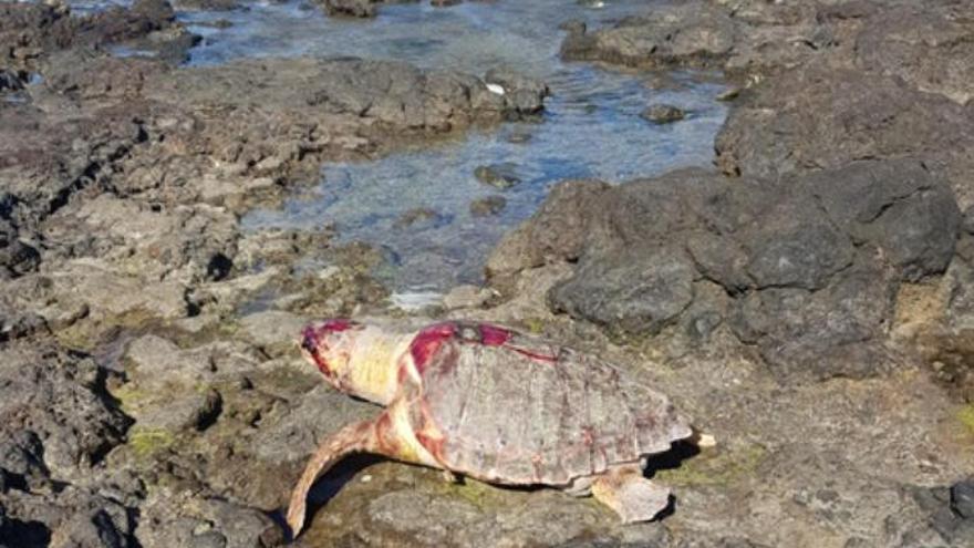 Una tortuga boba aparece muerta en El Palmar