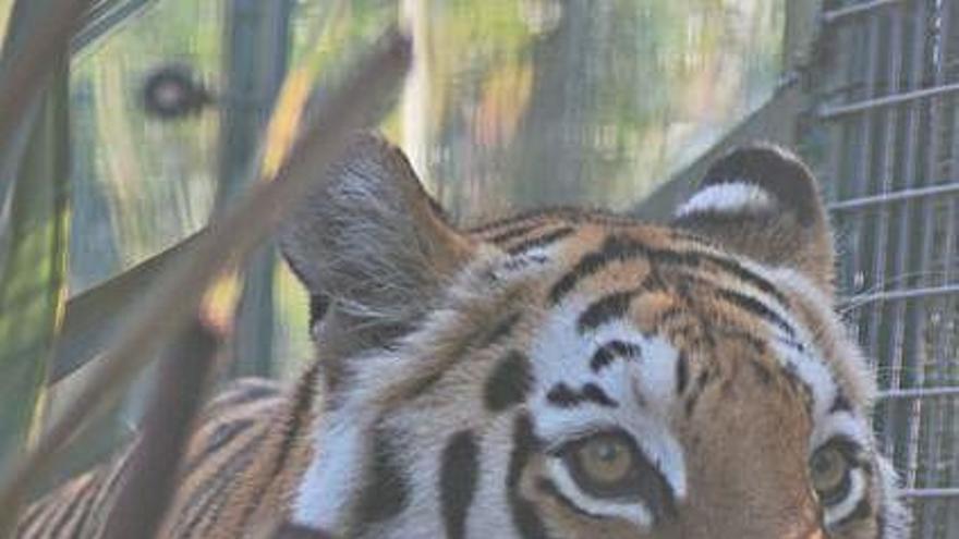 """La tigresa """"Asia"""", una nueva inquilina en el núcleo zoológico de San Esteban de las Cruces"""