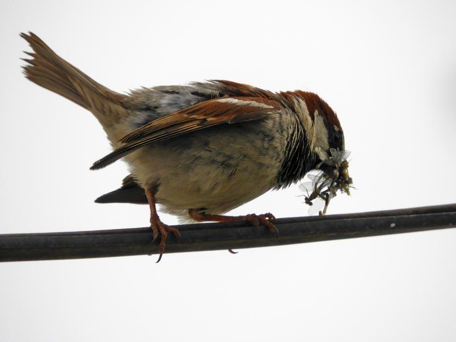 Caçador caçat. És la llei de la naturalesa, una libèl·lula servint d'aliment a un pardal. Imatge capturada al berenador del parc de l'Agulla.