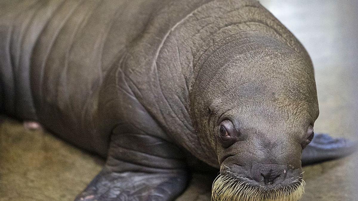 Floki és un gran bebé que va pesar uns 60 quilògrams en nàixer. | BENOIT BOUCHEZ