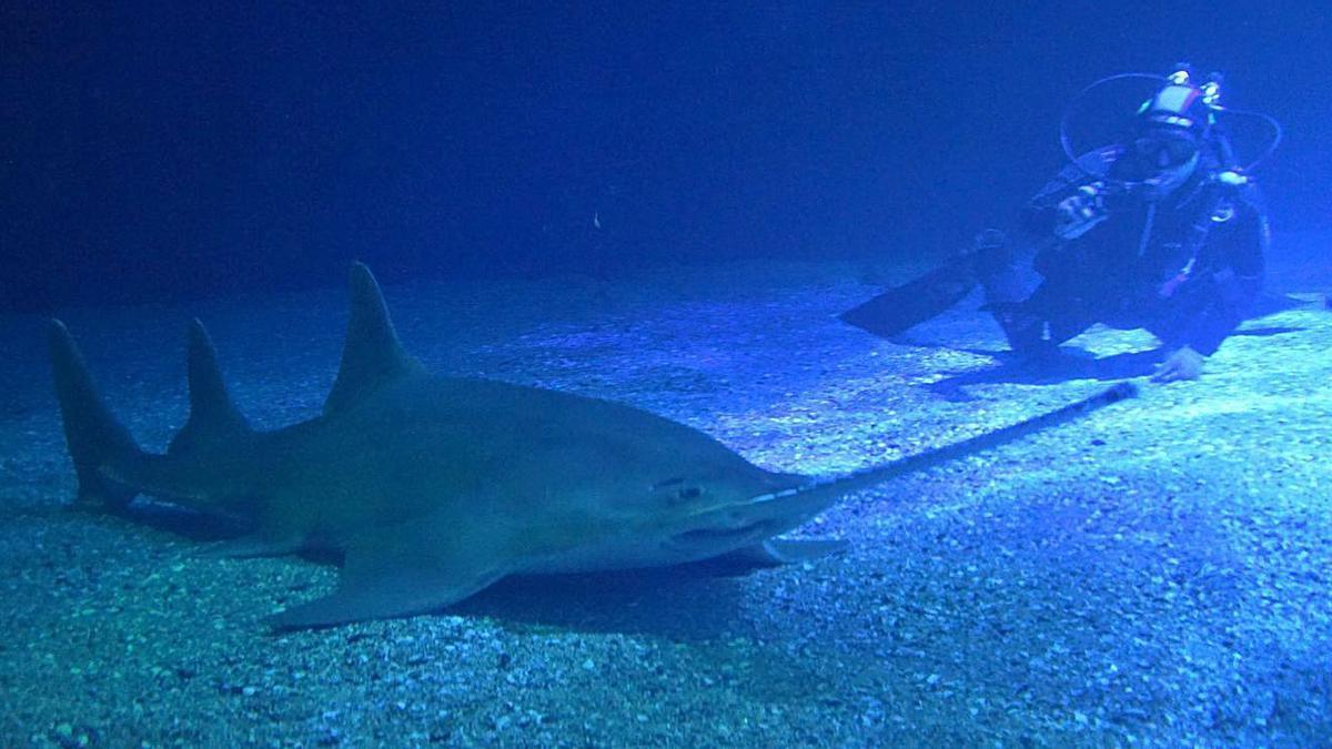 L'Oceanogràfic incorpora un gran peix serra