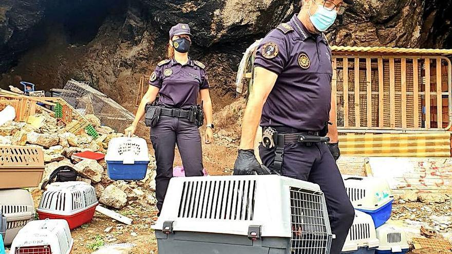 La Policía de Orihuela desmantela un criadero de gallos de pelea en una cueva