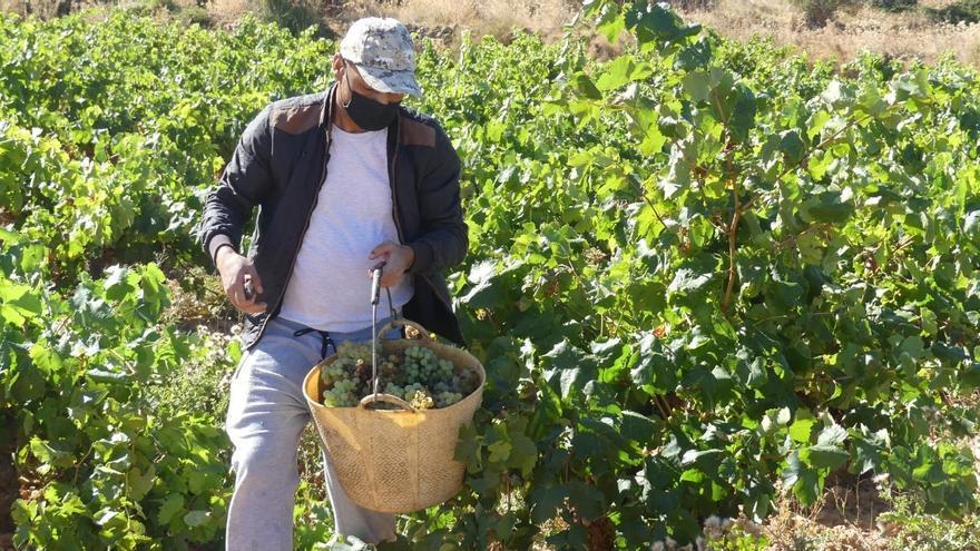Arranca la vendimia en Cariñena, que prevé recoger 65 millones de kilos