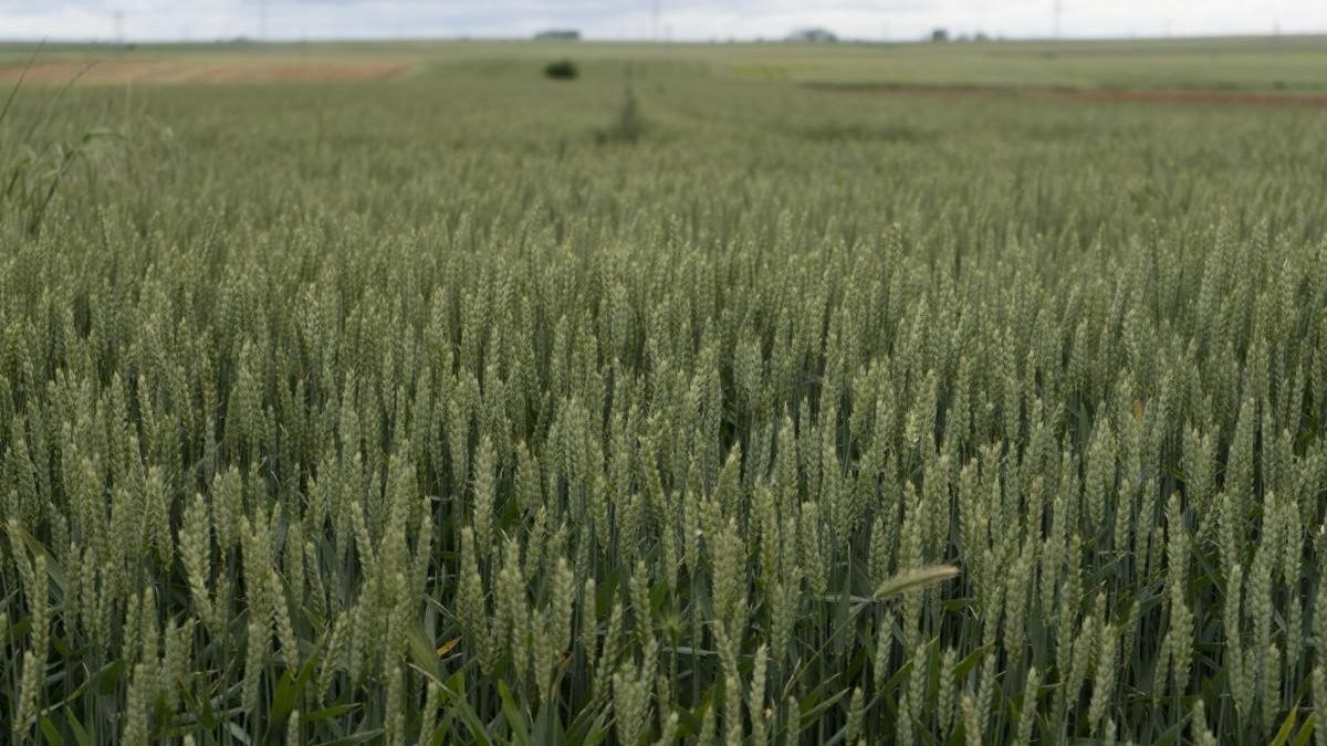 Campo de cereal en la provincia de Zamora.