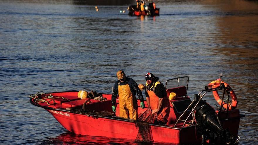 Temporada de lamprea en el río Ulla