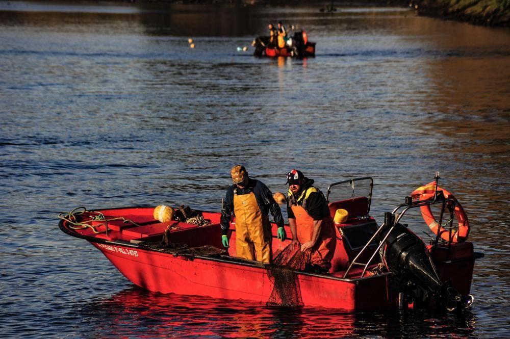 La temporada de lamprea arranca por todo lo alto en el Ulla, con una treintena de peces en dos jornada