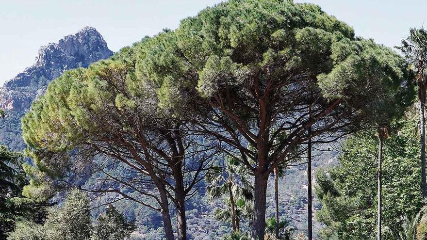 Die Pinien sind auf Mallorca ein Zeichen von Wohlstand