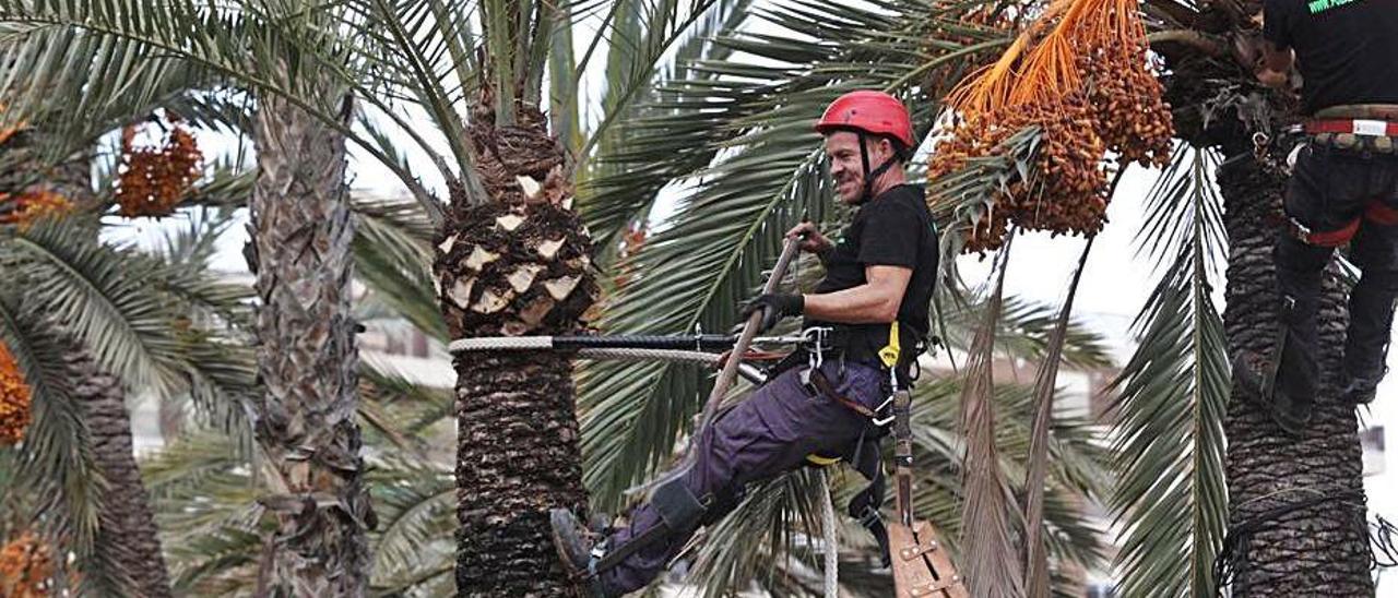 Escarmonda de palmeras en Elche.