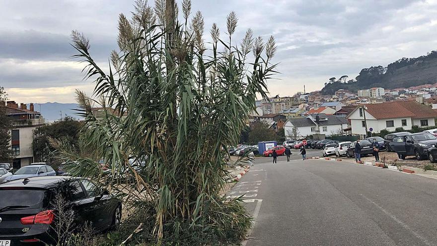 Un cañaveral en el aparcamiento