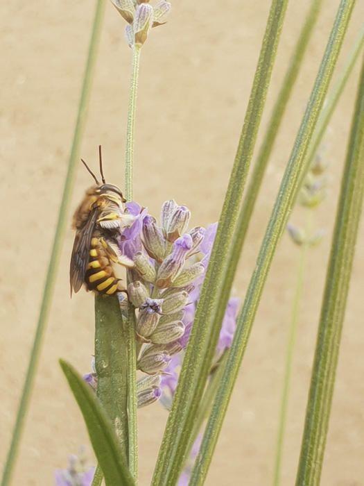 Avella de la mel. La seva relació amb la mel fa que aquest insecte aparegui en nombroses obres literàries com a símbol de la primavera i la dolçor. També com un animal treballador a la faula, igual que la formiga.