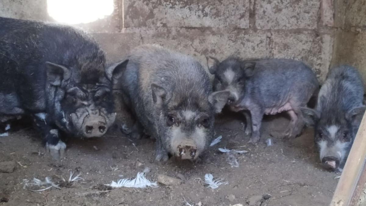 Cuatro de los cerdos vietnamitas rescatados en Lorca