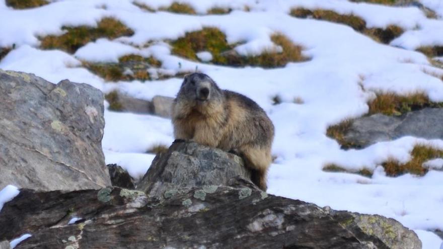 Marmotes del Pirineu constaten que l'espècie es comunica en dialectes