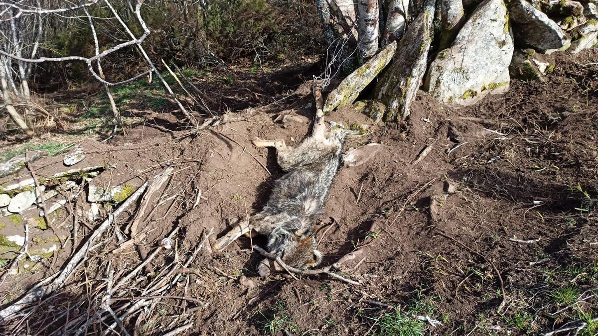Lobo fallecido en la trampa de lazo.
