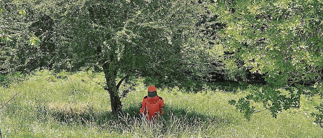 Un operario retira un nido de velutina en Gijón.