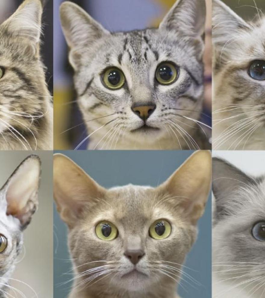 Los siete rasgos que determinan el comportamiento de los gatos