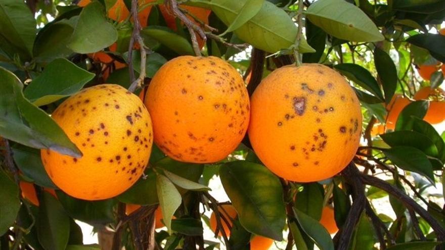La Unió de Llauradors alerta de la llegada de más  naranjas de Sudáfrica con plagas