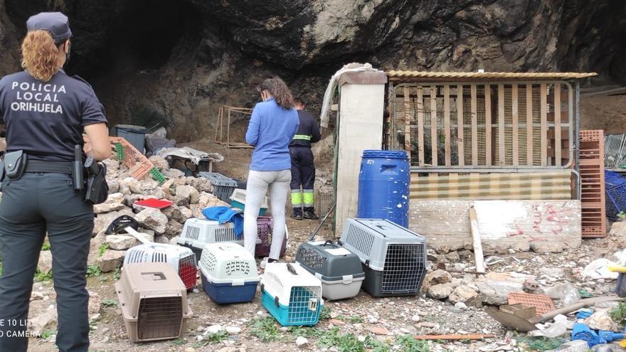 La Policía Local de Orihuela desmantela un criadero de gallos de pelea en una cueva de la sierra