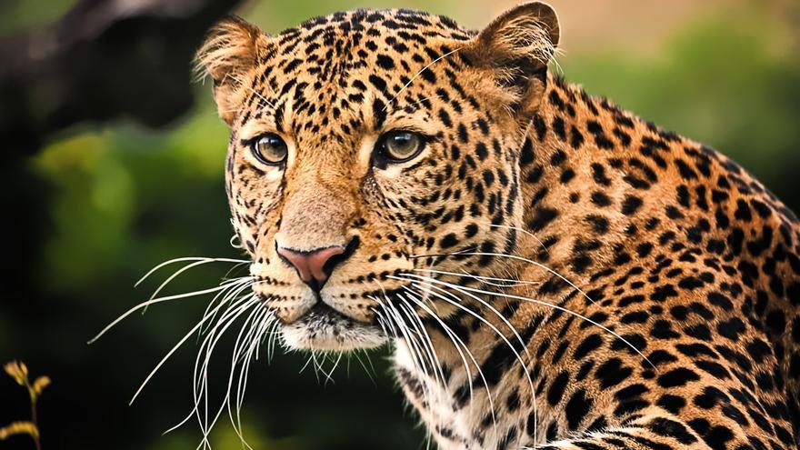 Un leopardo hiere a una modelo alemana durante una sesión fotográfica