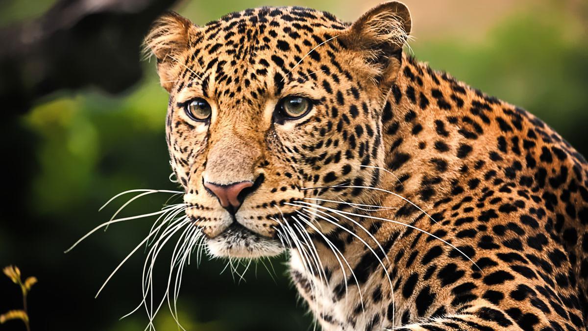 Imagen de archivo de un leopardo.