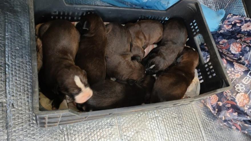 Telde pide colaboración para identificar a una persona que abandonó a una camada de perros