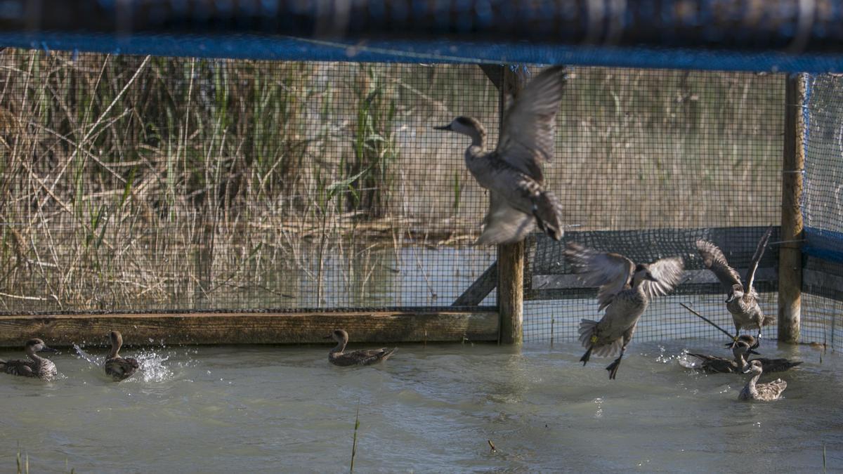 Ejemplares de cercetas pardillas en una de las charcas del parque natural de El Hondo antes de ser liberadas.