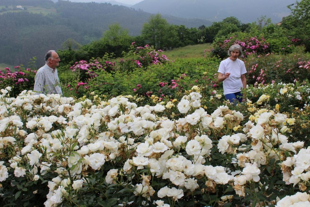 Las rosas se adelantan al Corpus en Castropol