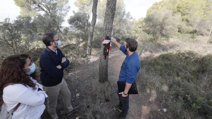 Cort no descarta talar más pinos de los 700 ya muertos en Bellver por la plaga de Tomicus