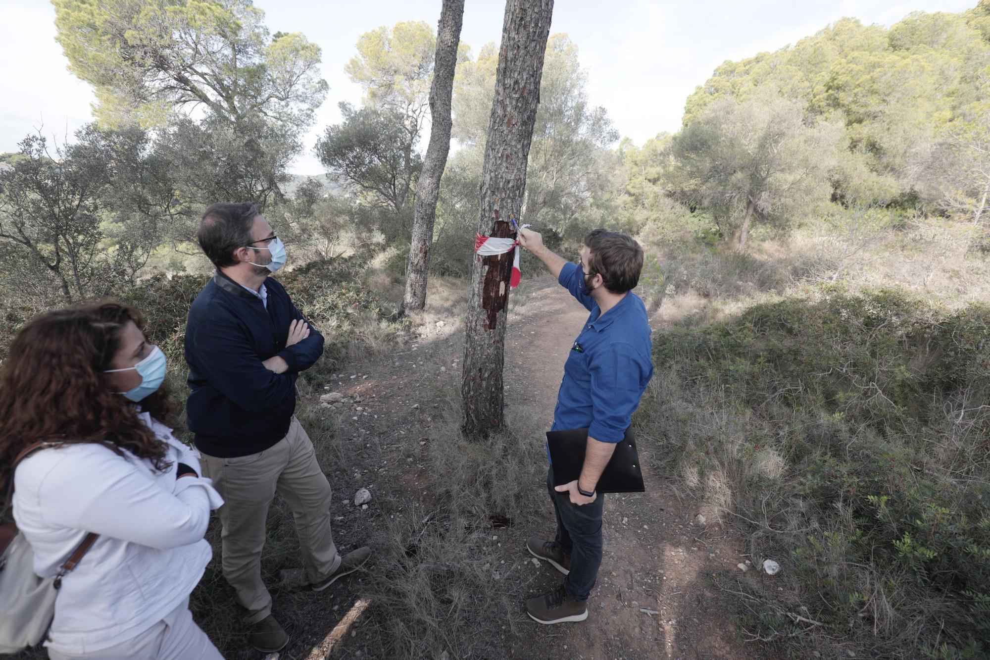 El alcalde de Palma visita el bosque de Bellver para conocer la incidencia de la plaga de Tomicus