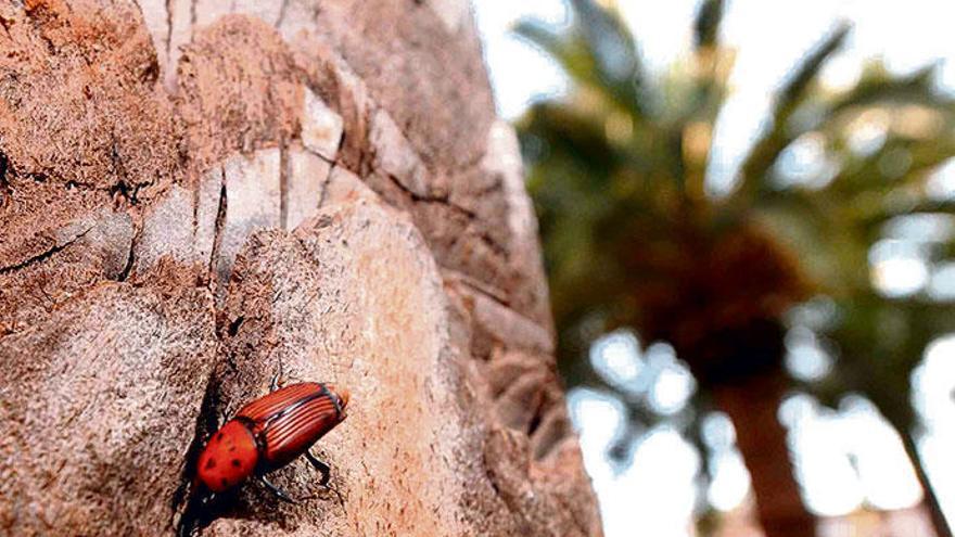 Droht nun ein erneutes Palmensterben auf Mallorca?
