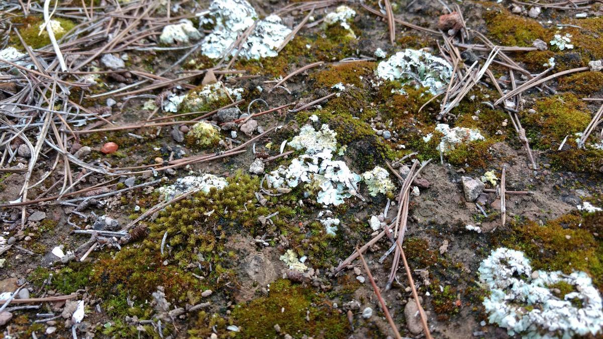 Los musgos y líquenes que viven en la superficie del suelo son un componente fundamental de la biodiversidad de las zonas áridas.