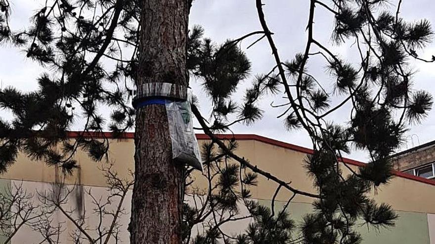 Langreo coloca trampas para orugas procesionarias en los parques