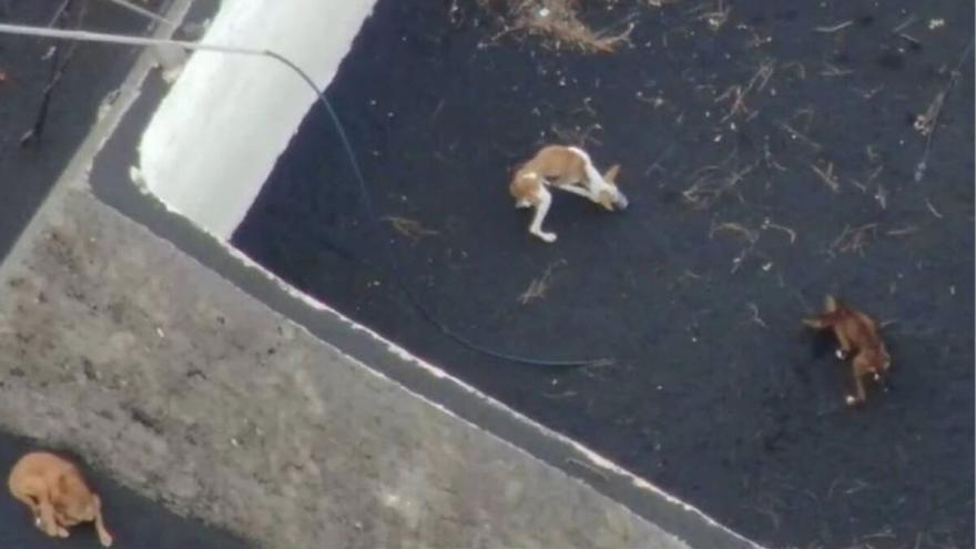 Misteriosa desaparición de los perros atrapados por la lava del volcán de La Palma antes de su rescate con un dron