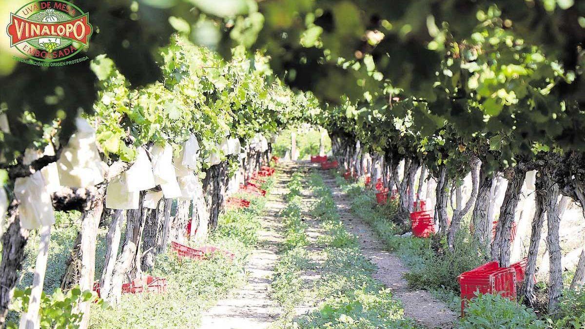 Uvas con D.O. protegida, una cuidada selección de calidad