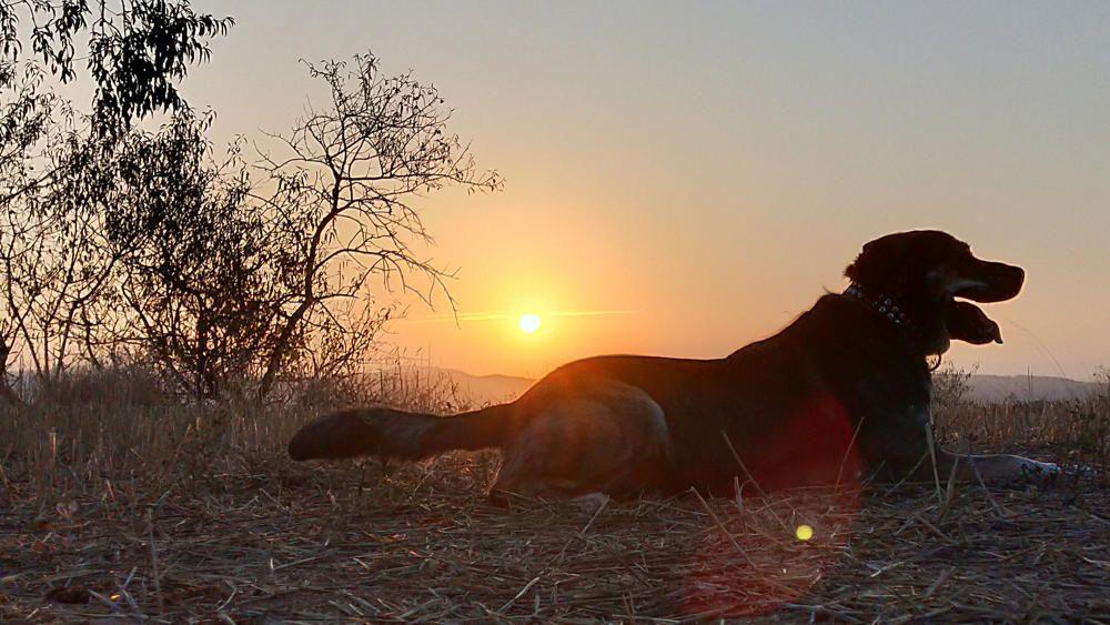 Cardona. Aquest gos reposa mentre surt el sol.